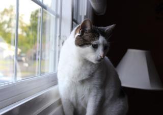 Artritis en los gatos