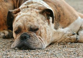 atrofia testicular perros.