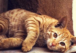 Artrosis gato.