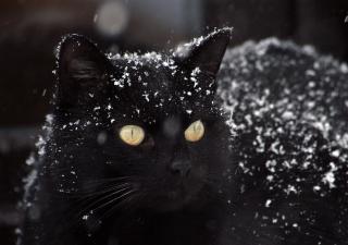 gato-nieve