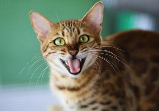 Mitos de los gatos