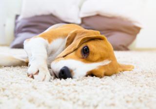 Perro tumbado en casa