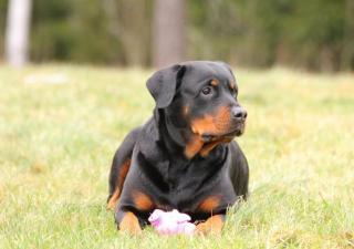 perro con osteoartritis