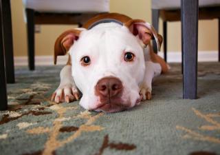 Perro nervioso por ir al veterinario (Pixabay)