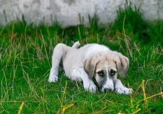 Problemas de corazón en perros