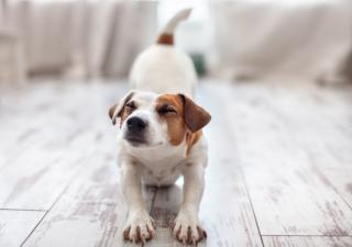 osteoartritis mascotas