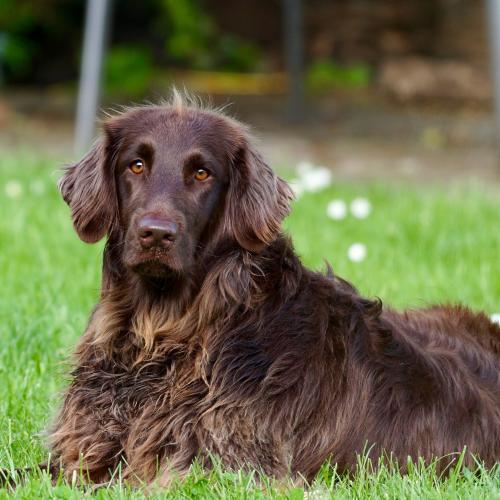 epilepsia-en-perros
