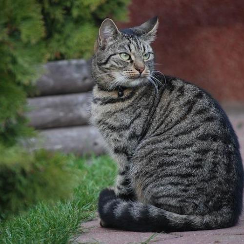 gato esterilizado