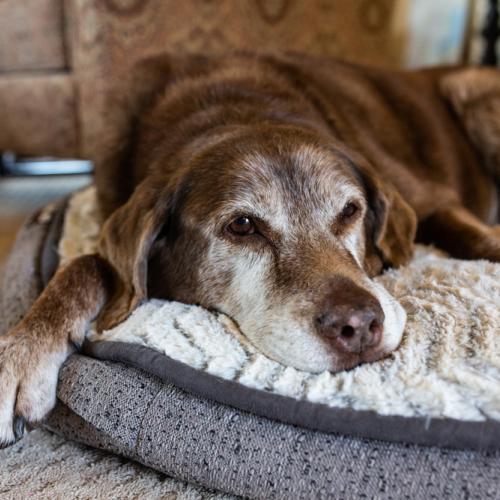 cama perro artritis